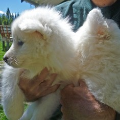 Samoyed pups