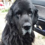 Rosa, an 8 year old Newfoundland, and her buddy Dan, a 12 year old lab, were both victims of unintentional poisoning by xylitol they found when raiding the pantry shelf.  This post was made in their memory.